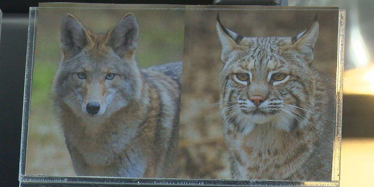 Medicine Park Aquarium to welcome bobcat and coyote