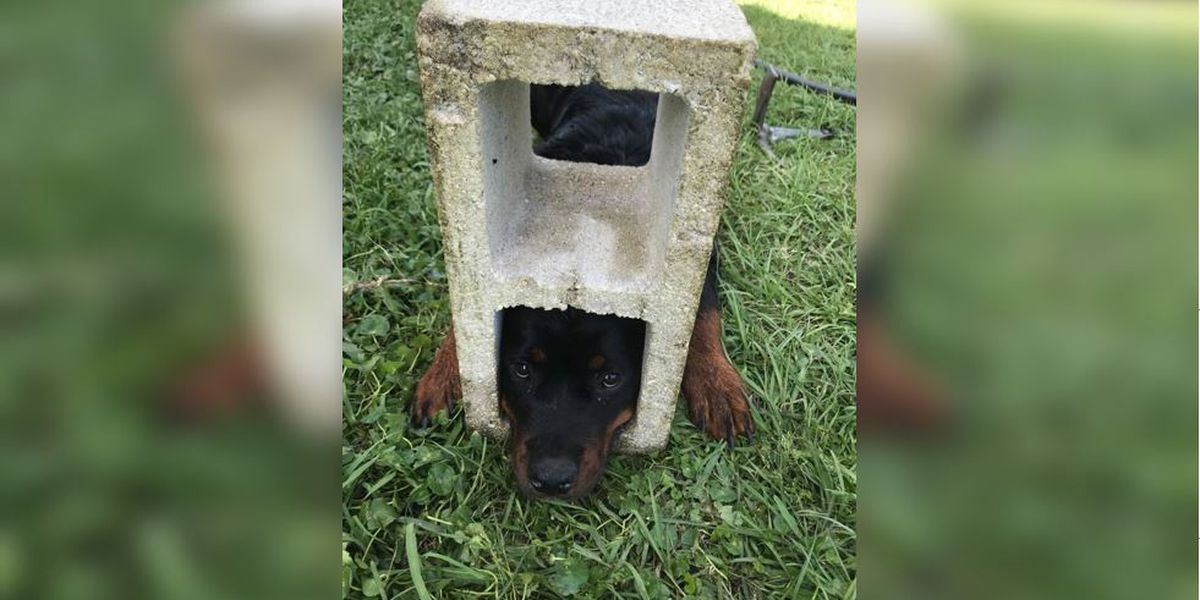 Precious pup gets head stuck in cinder block