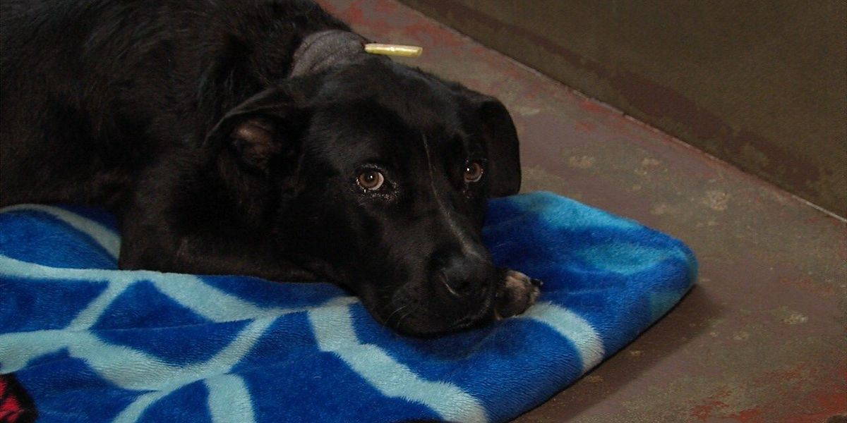 GRAPHIC: Dog shot in neck with crossbow