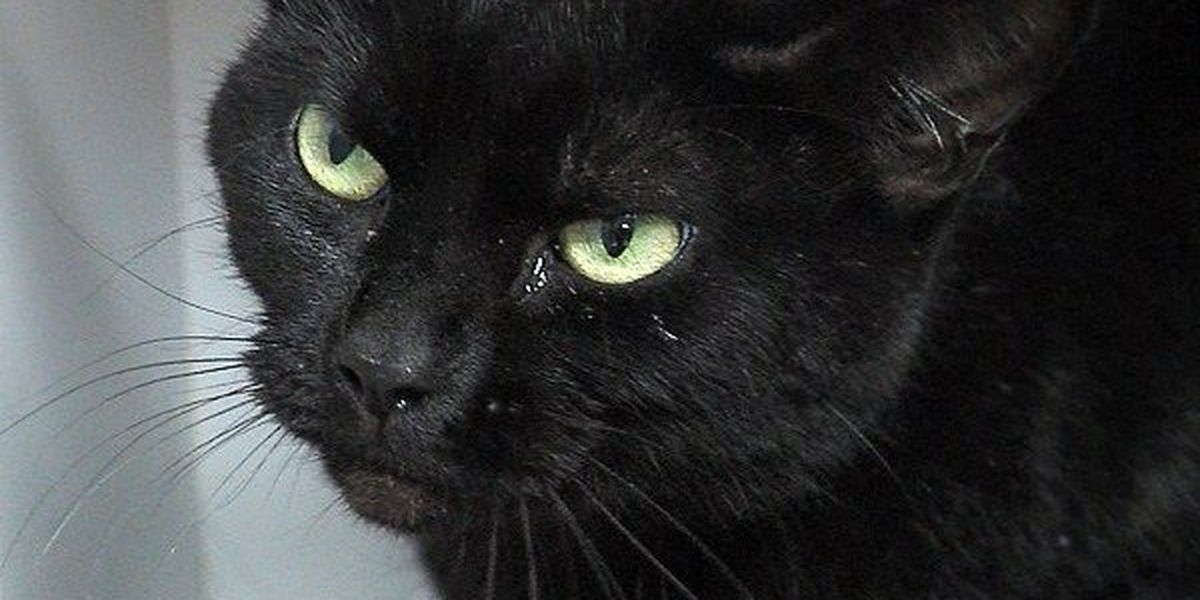 Black cat adoption suspended for Halloween