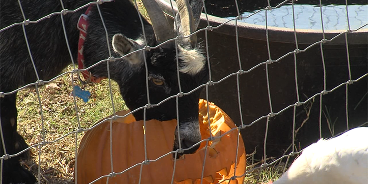 Donate your carved and whole pumpkins to feed animals