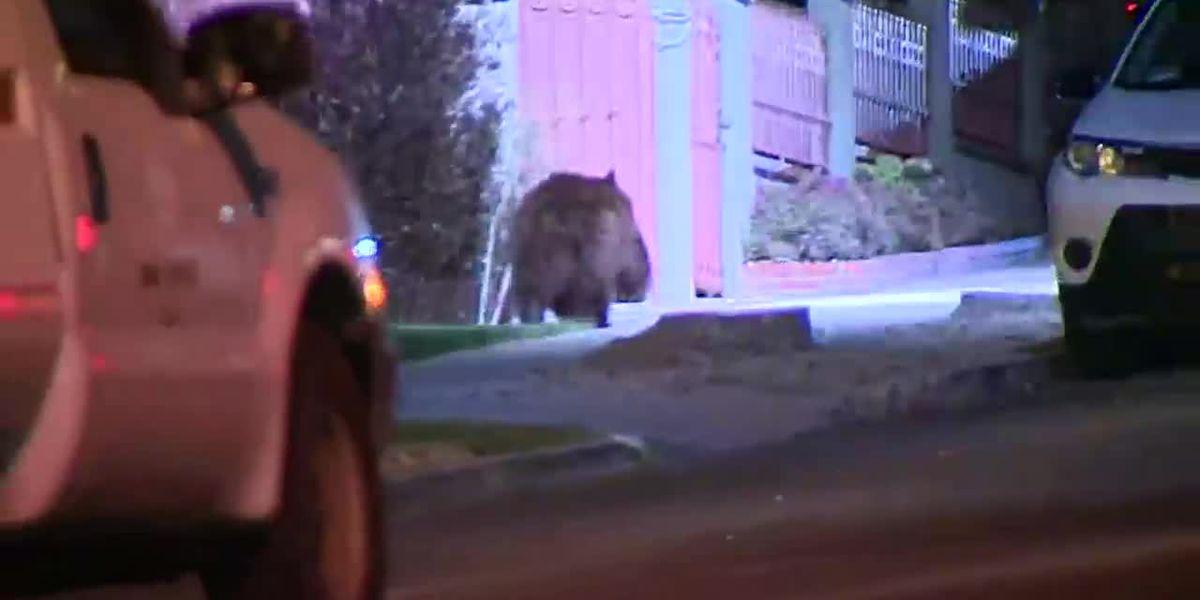 Watch: Bear on run in California neighborhood