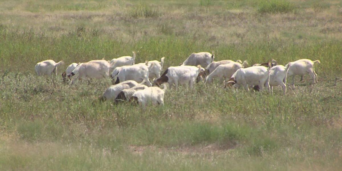 Two more goats shot and killed in Faxon