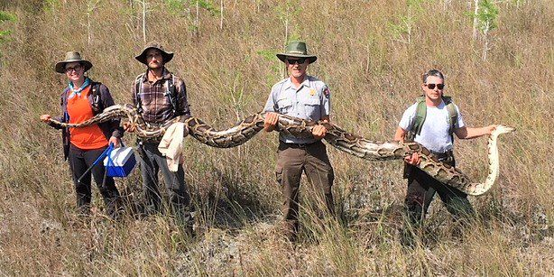 Record 17-foot python with 73 developing eggs caught by researchers in Florida