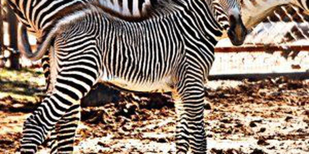 Teen charged with trespassing for jumping in zebra habitat