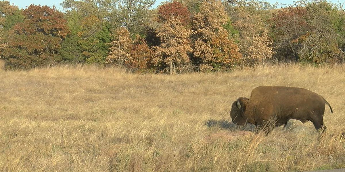 Wichita Mountains Wildlife Refuge gets new bison after 70 years