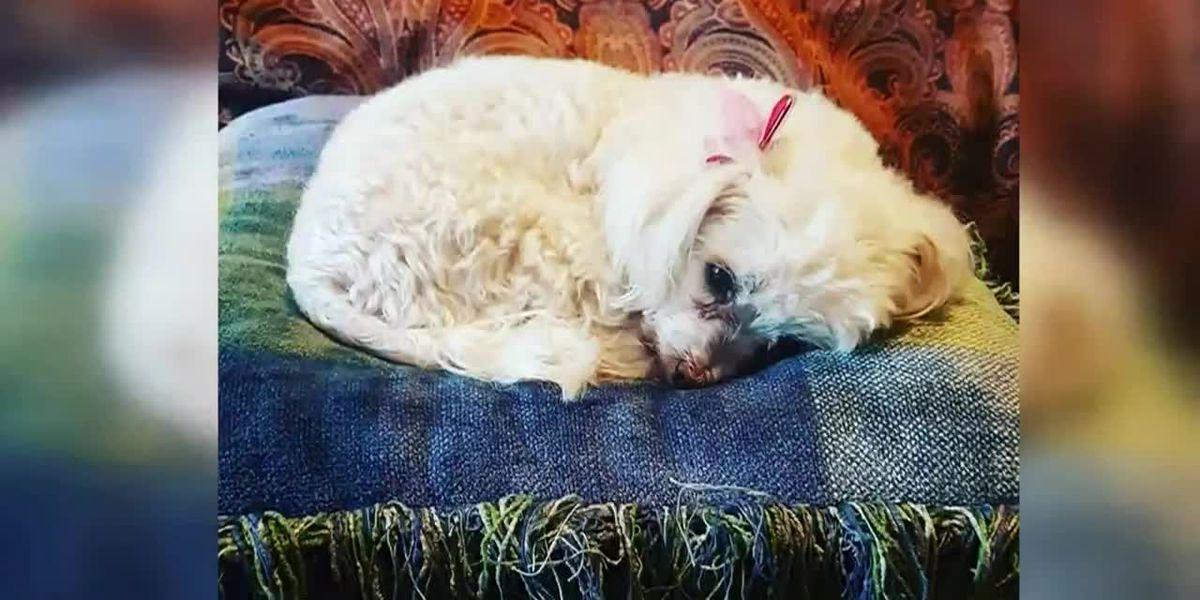 1 dog missing, 1 dog hurt; homeowner suspects 'brazen' coyote entered through doggy door