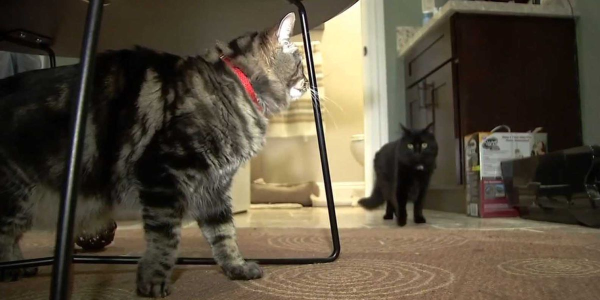 Silicon Valley apartment rented to cats for $1,500 a month