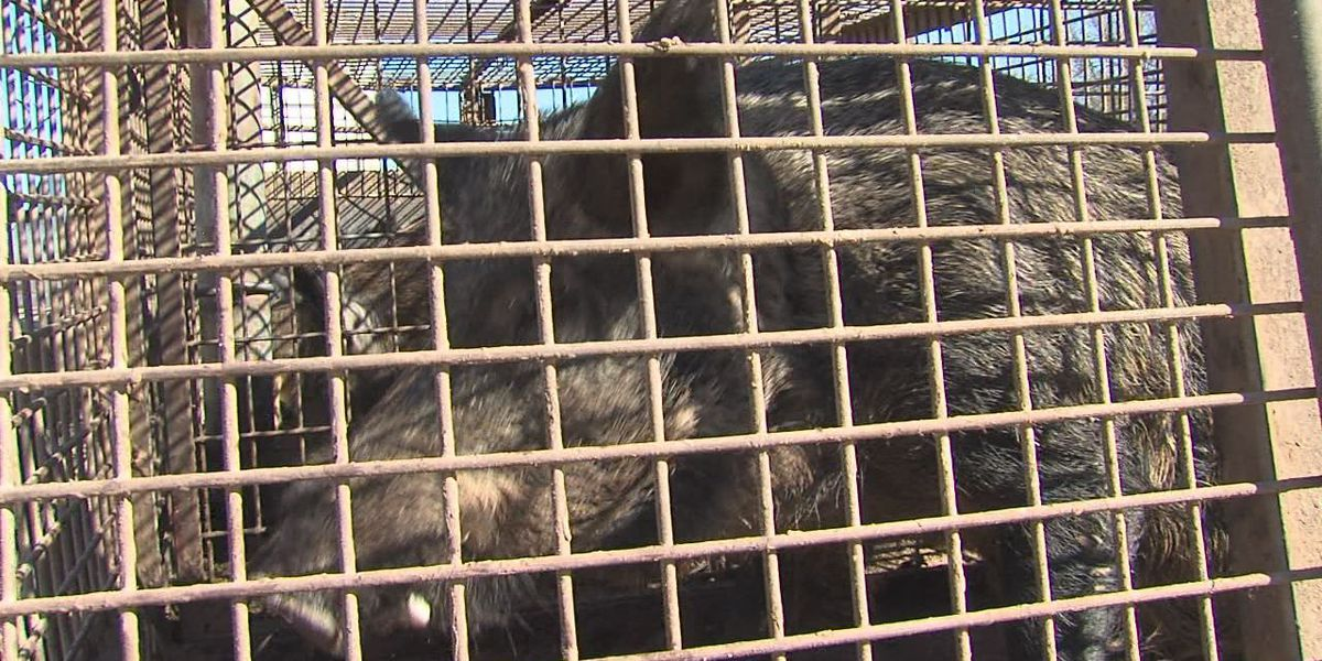 USDA holds feral hog workshop for farmers and producers