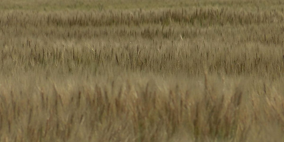 Wheat damaged from mid-April freeze