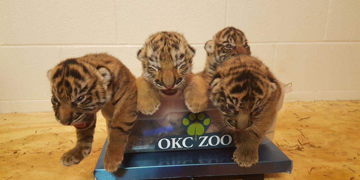 CUTENESS OVERLOAD: OKC Zoo launches live Tiger Cub Cam