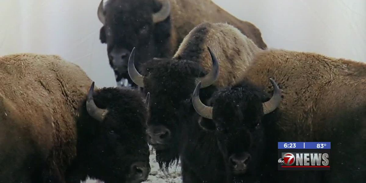 Bison exhibit opens at Chisholm Trail Heritage Center in Duncan