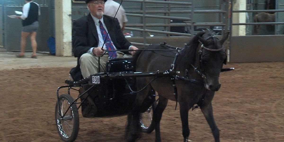 Miniature horses compete in Duncan