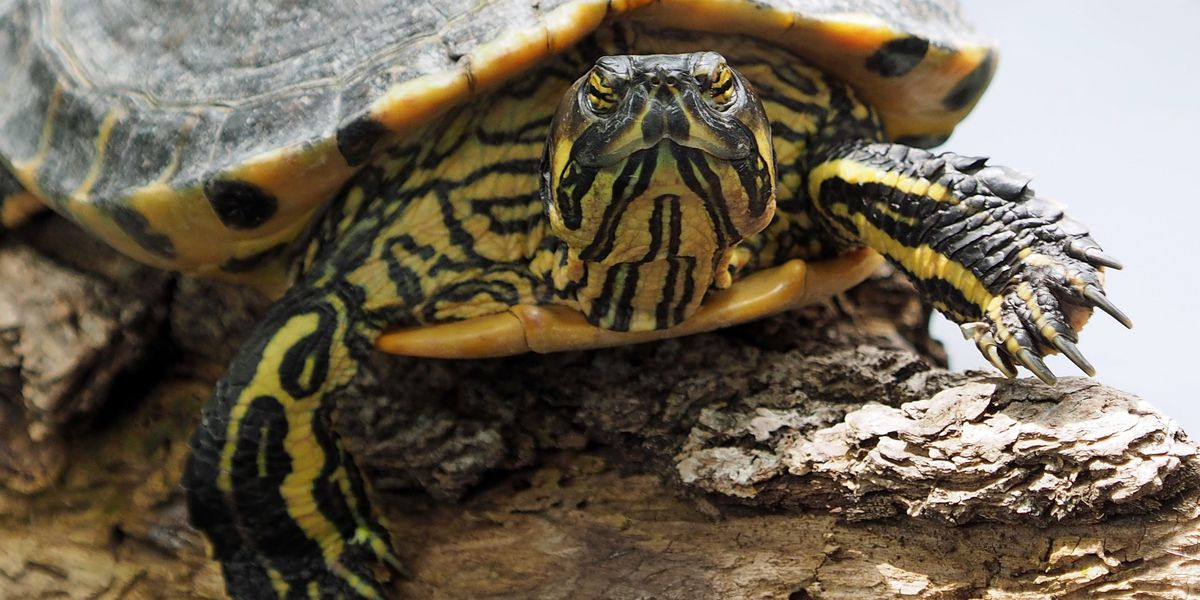 Woman goes to emergency room, doctors find dead turtle in her vagina