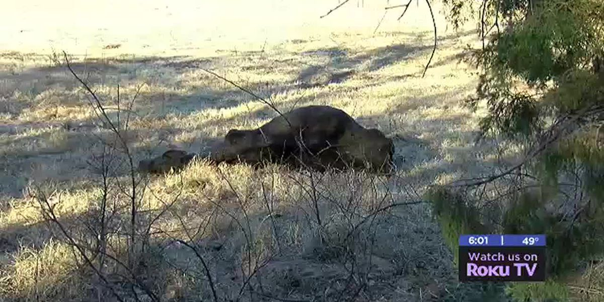 Cow mutilated in eastern Comanche County