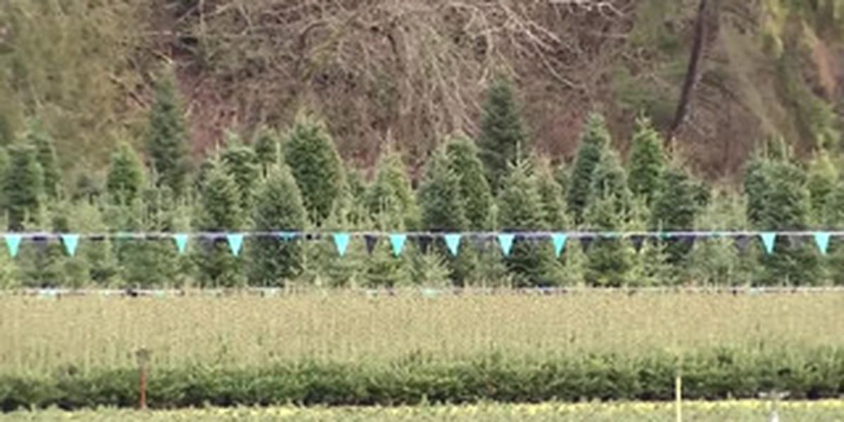 Christmas trees supplies tight, prices up
