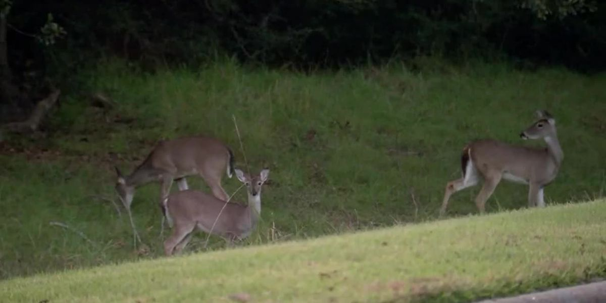 Dad and son accused of hunting deer on college campus