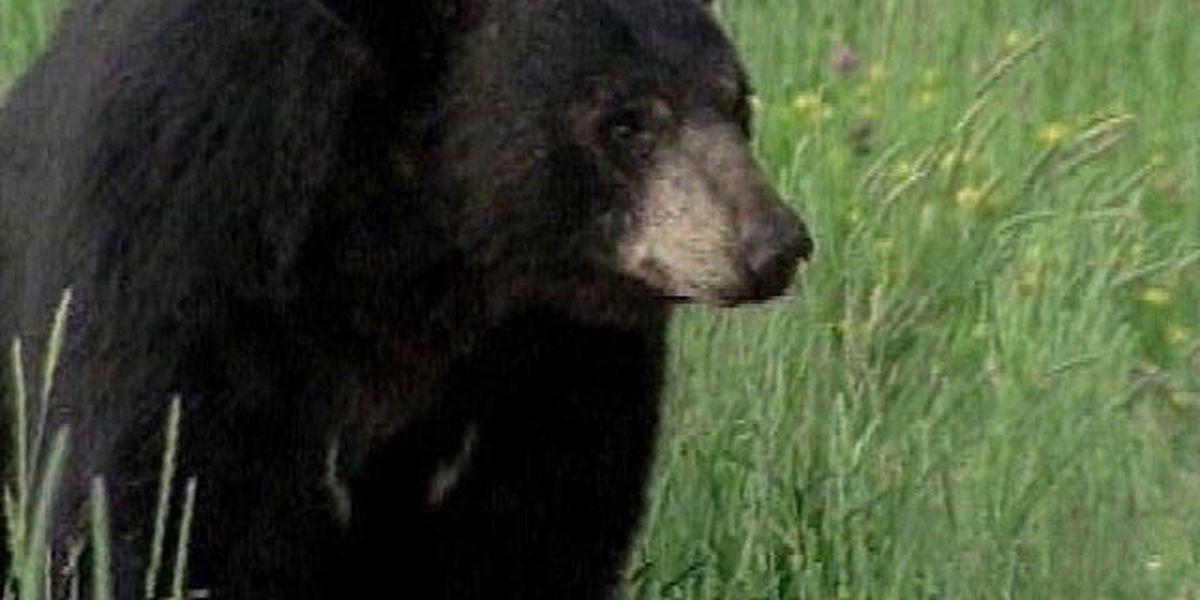 Oklahoma wildlife agency says black bear numbers increasing