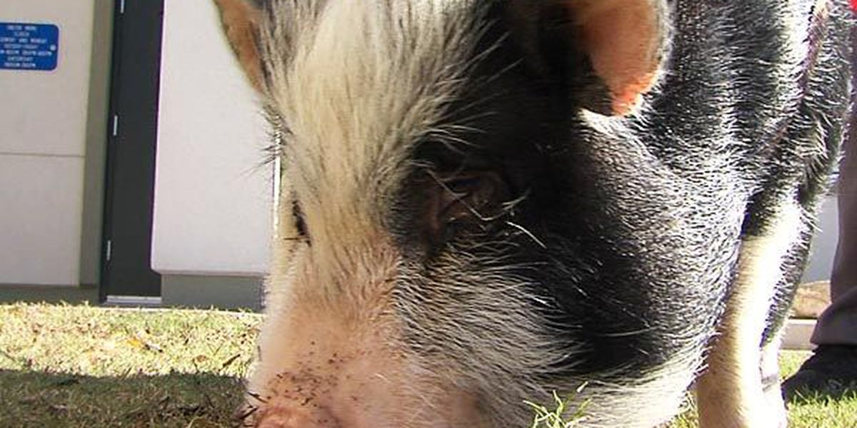 Rosalie the pot-bellied pig is being adopted