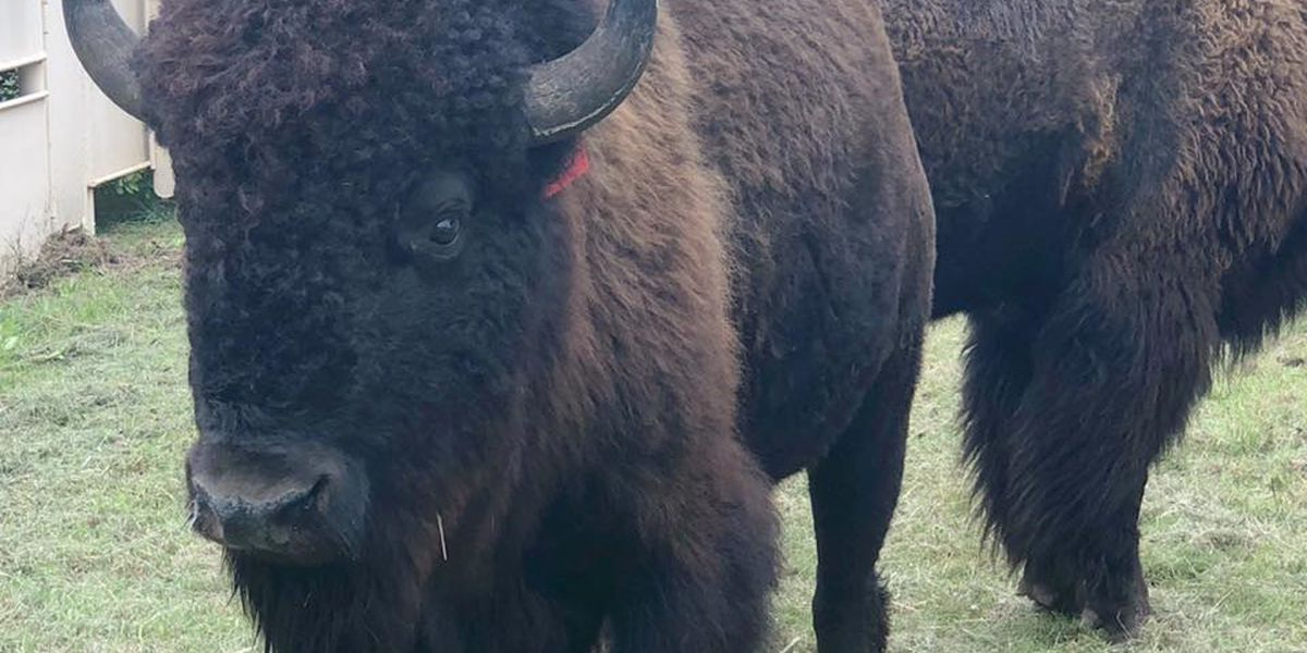 Rain doesn't damper 48th Annual Bison Auction
