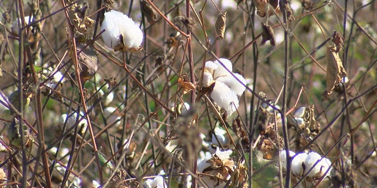 Cotton farmers feel sting of vacated dicamba regulations