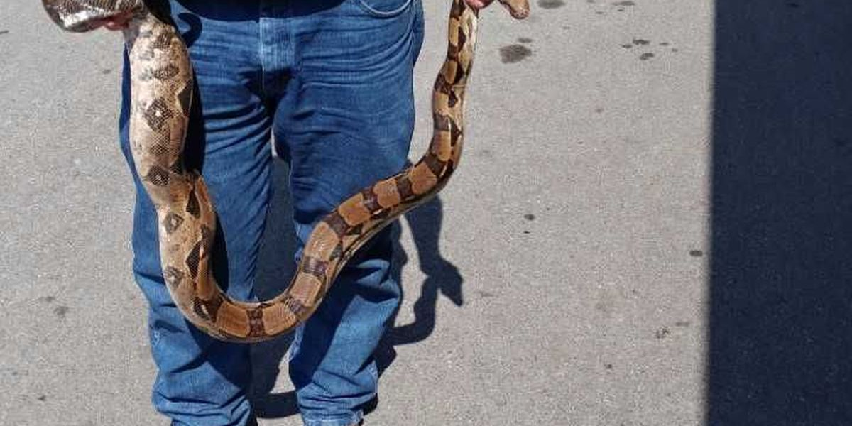 8 foot python found by John & Cook's BBQ patron