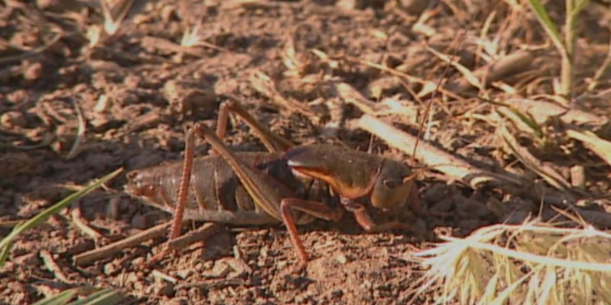 This time of year brings out an increase of crickets in homes