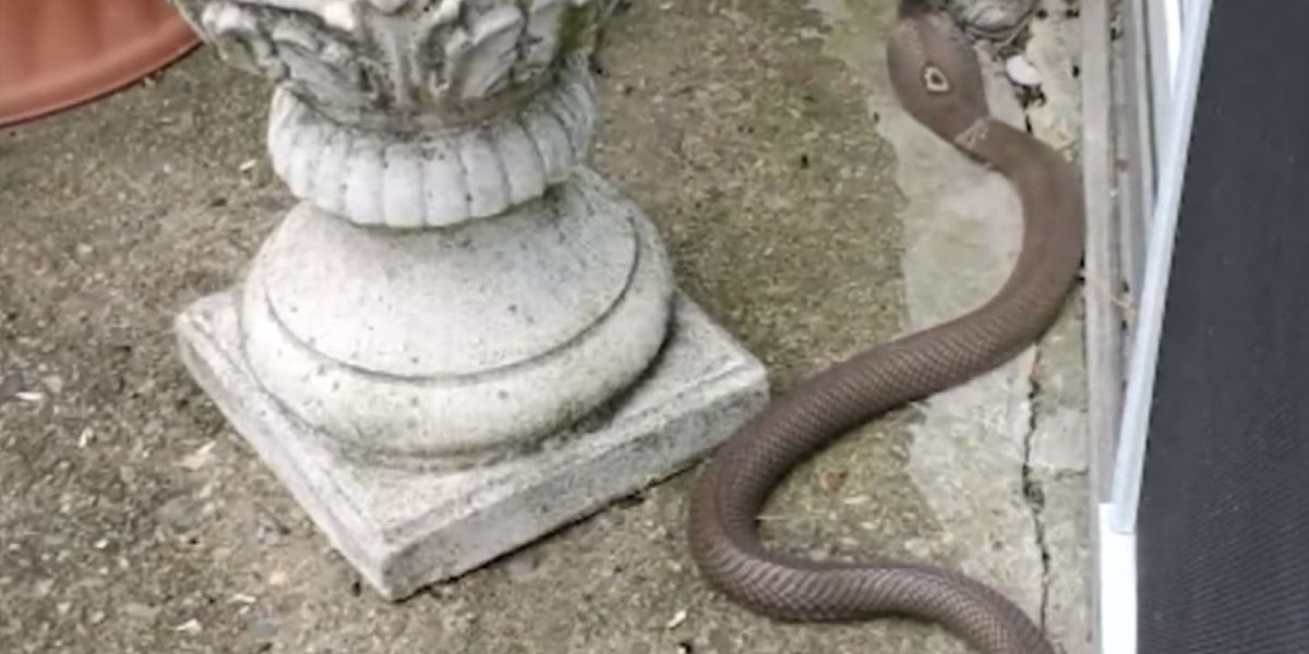 Great-grandma uses shovel to kill cobra slithering on her patio