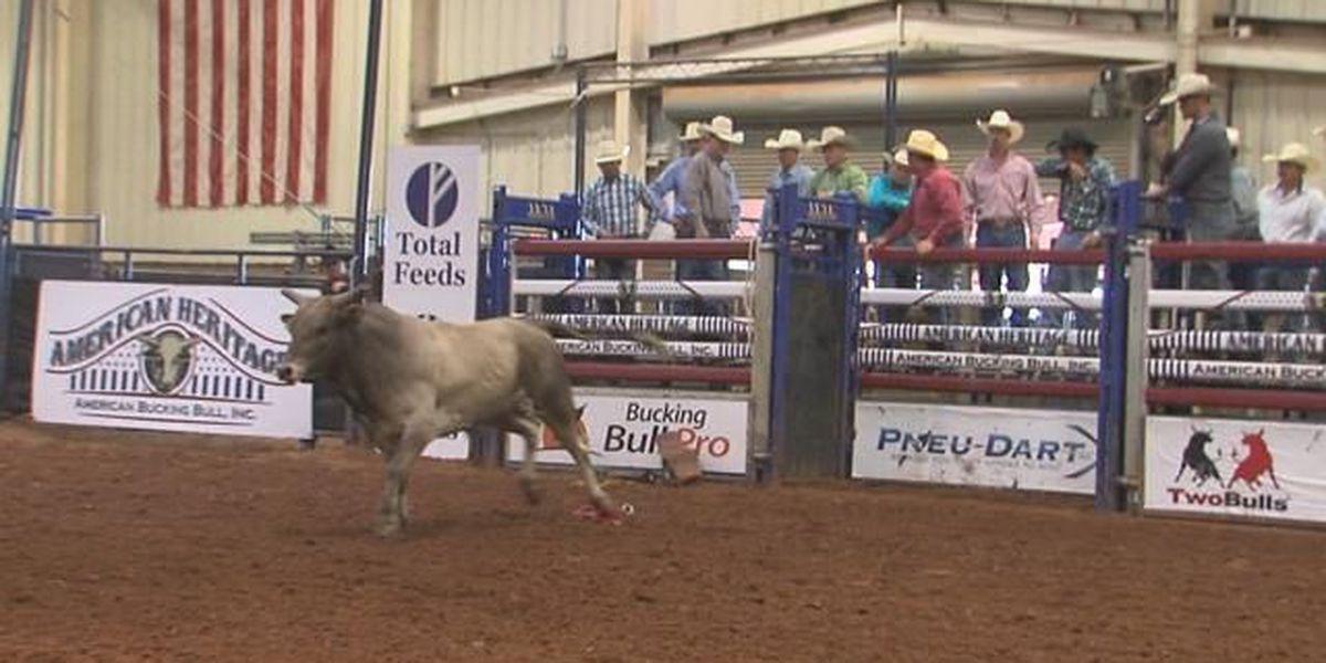 Bucking bull competition underway