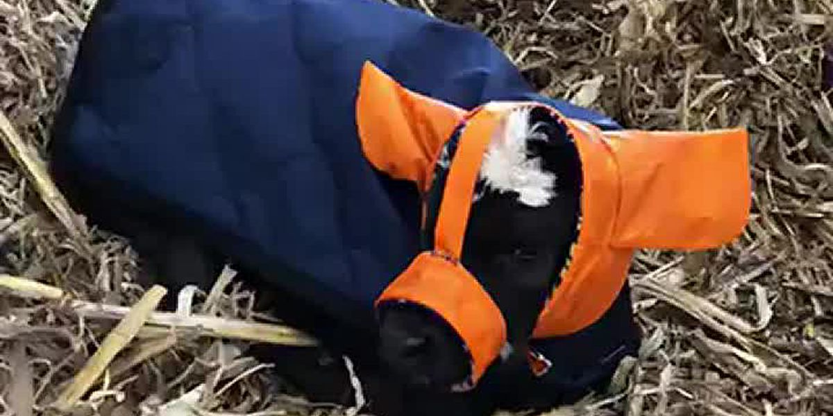 Farmer creates Moo Muffs to keep the ears of newborn calves warm