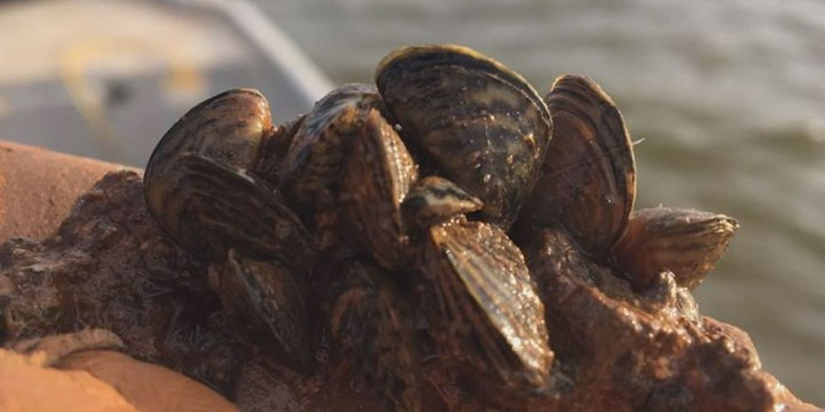 Large number of zebra mussels found in Waurika lake.