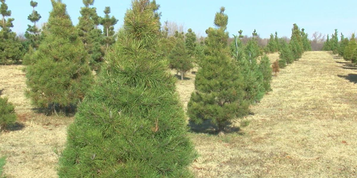 Nationwide Christmas tree shortage affects Lawton