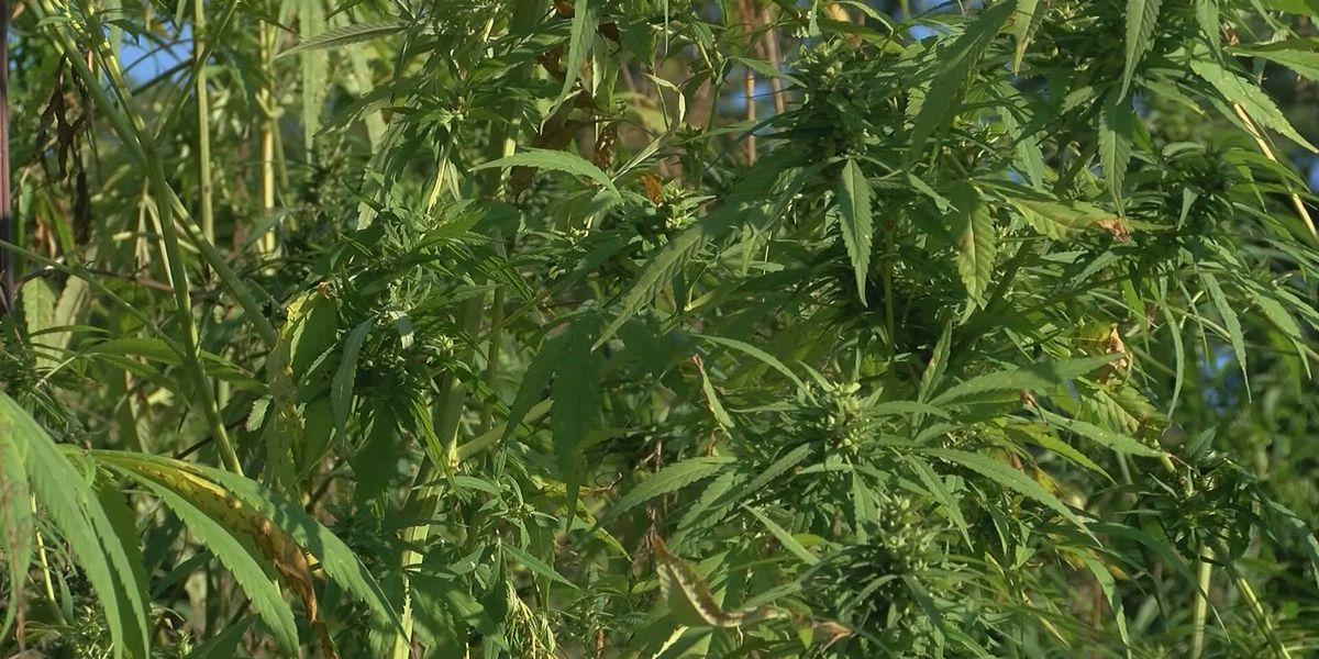 OBN seizes 800 marijuana plants in Comanche County